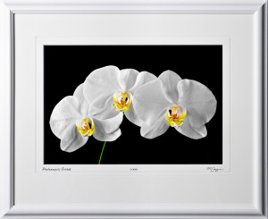 F081031A Phalaenopsis Orchid - shown as 12x18