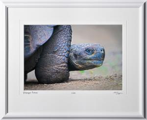 W110510 010 Tortoise Galapagos - shown as 12x18