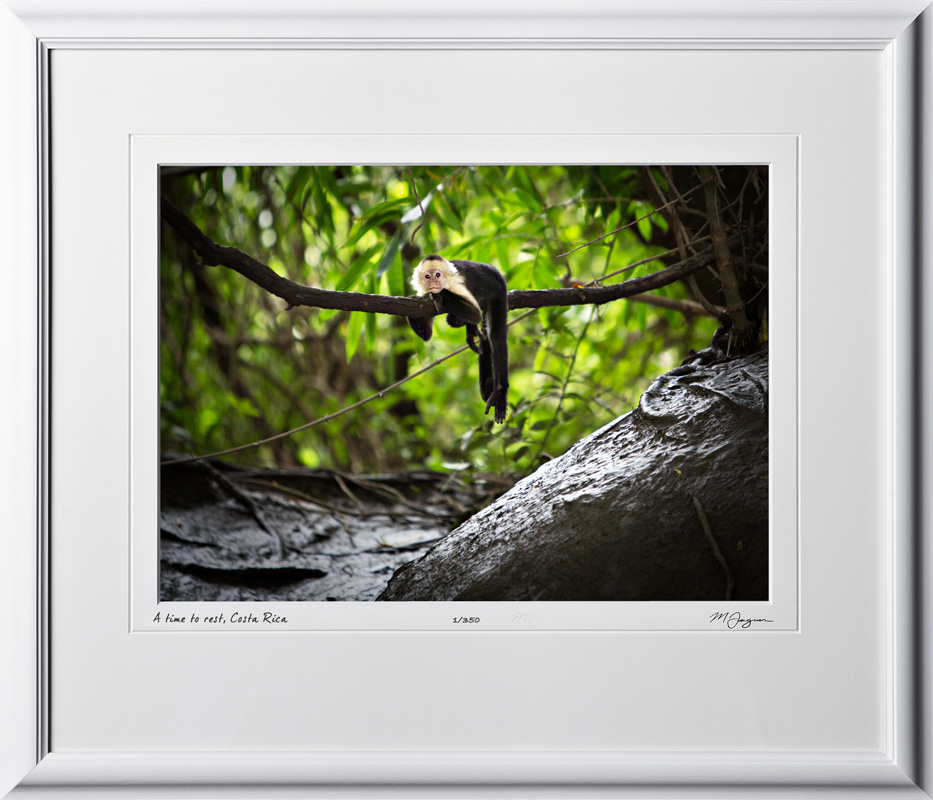 01 W120704 A37 White-Faced or Capuchin Monkey Costa Rica 10x14 Landscape in 17x20 frame