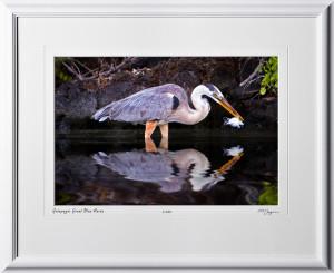 W110507 015 Great Blue Heron Galapagos - shown as 12x18