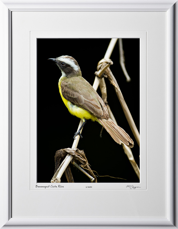 06 W120704 A42 Bananaquit Costa Rica 10x14 Portrait in 16x21 frame