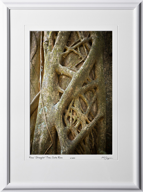 07 S120703 A54 Ficus Tree Costa Rica 12x18 Portrait in 18x25 frame