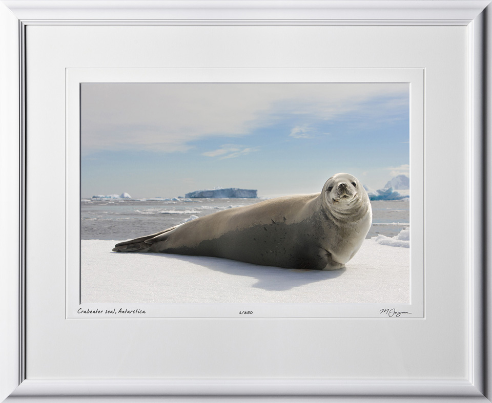 S130113A Crabeater seal - Antarctica - shown as 12x18