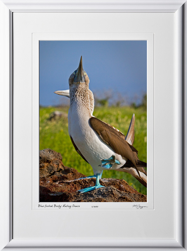 W110508 013 Blue-footed Booby Galapagos - shown as 12x18