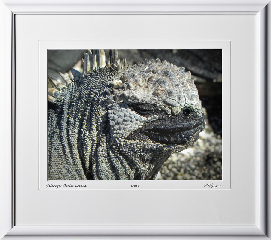 W110508 027 Marine Iguana Galapagos - shown as 12x16