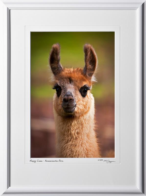 W110515 031 Happy Lama - Awanacancha Peru - shown as 12x18