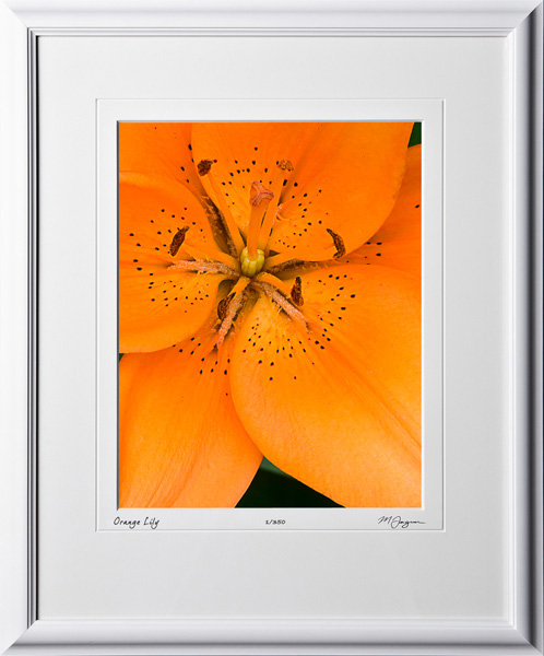 F070707B Orange Lily - shown as 11x14