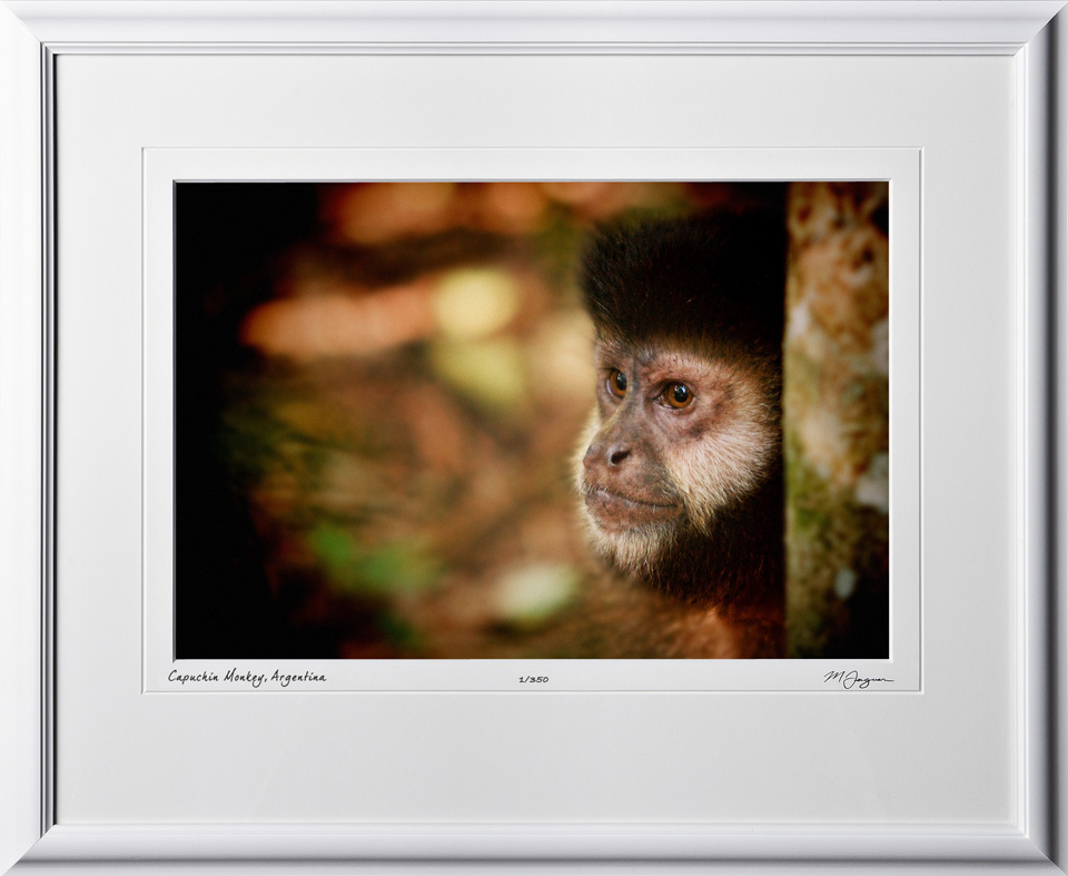 S130119E Capuchin Monkey - shown as 12x18