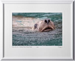 W090723B Curious Sea Lion - Northwest Inian Islands Alaska - shown as 12x18