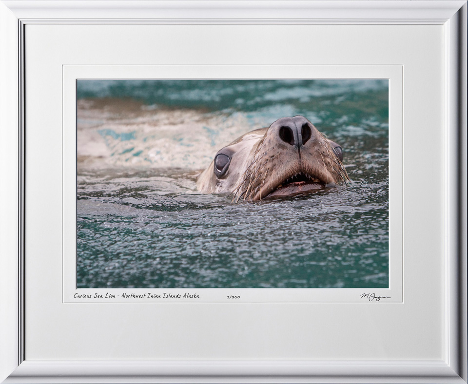 W090723B Curious Sea Lion - Northwest Inian Islands Alaska - shown as 12x18