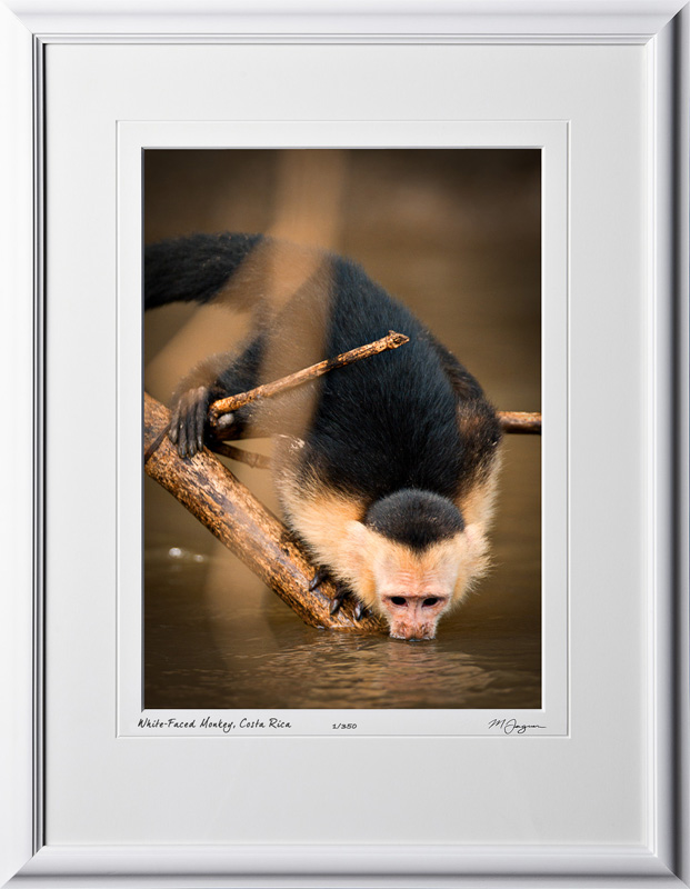 11 W120704 A23 White-Faced or Capuchin Monkey Costa Rica 10x14 Portrait in 16x21 frame