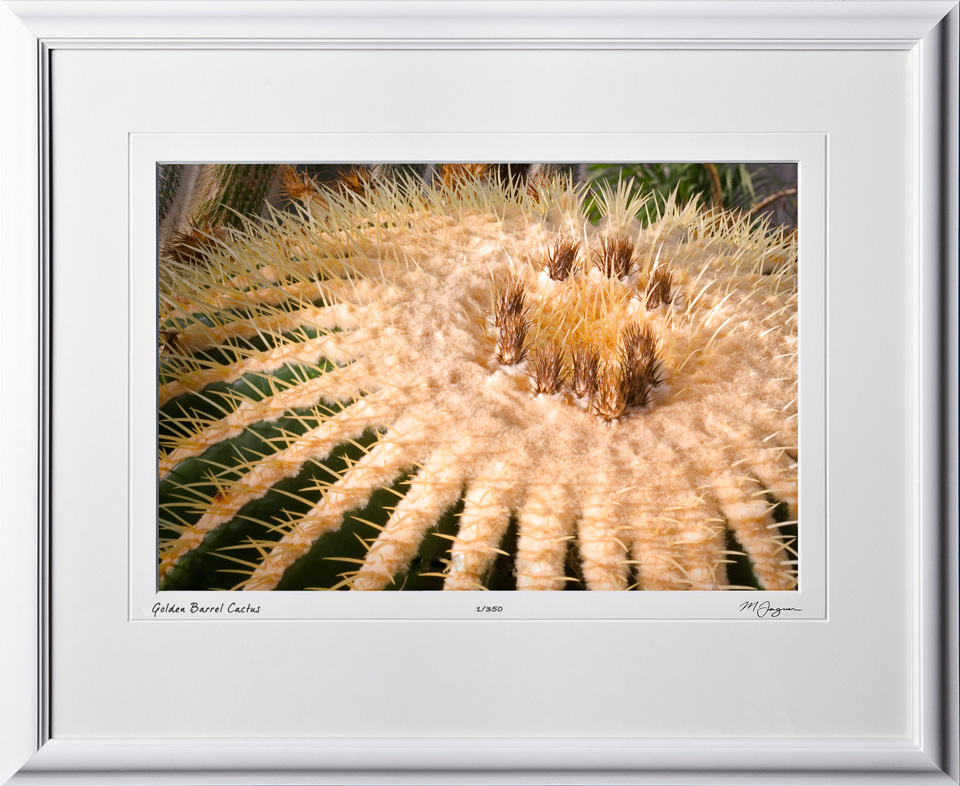 F081113D Golden Barrel Cactus - shown as 12x18