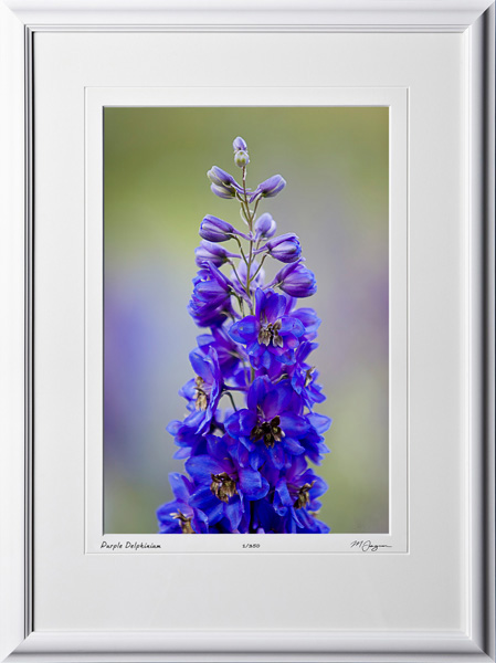 F070715A Purple Delphinium - shown as 12x18