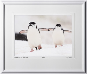 S130110D A Lovers Stroll - Chinstrap Penguins - Antarctica - shown as 11x14