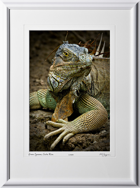 13 W120704 A10 Green Iguana Costa Rica 12x18 Portrait in 18x25 frame