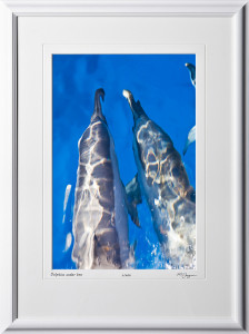 W080403A Dolphins under bow - Maui Hawaii - shown as 12x18
