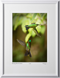 15 W120706 A51 Green-crowned Brilliant (Heliodoxa jacula) Costa Rica 10x14 Portrait in 16x21 frame