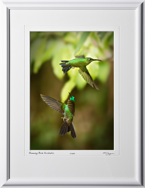 15 W120706 A51 Green-crowned Brilliant (Heliodoxa jacula) Costa Rica 10x14 Portrait in 16x21 frame