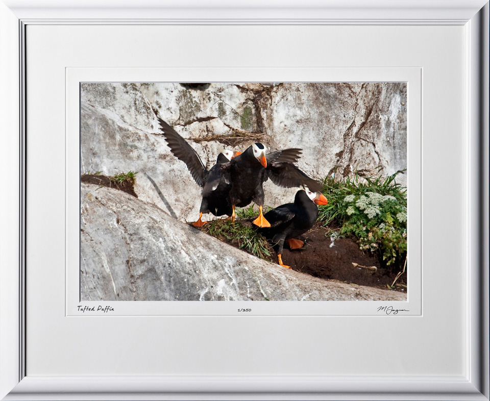 W090724A Tufted Puffin - South Marble Island Alaska - shown as 12x18