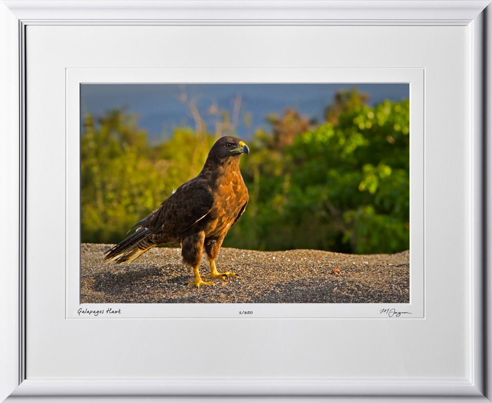 W110510 001 Galapagos Hawk - shown as 12x18