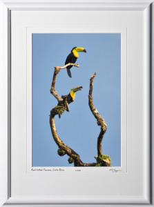 17 W120706 A68 Keel-billed Toucans Costa Rica 12x18 Portrait in 18x25 frame
