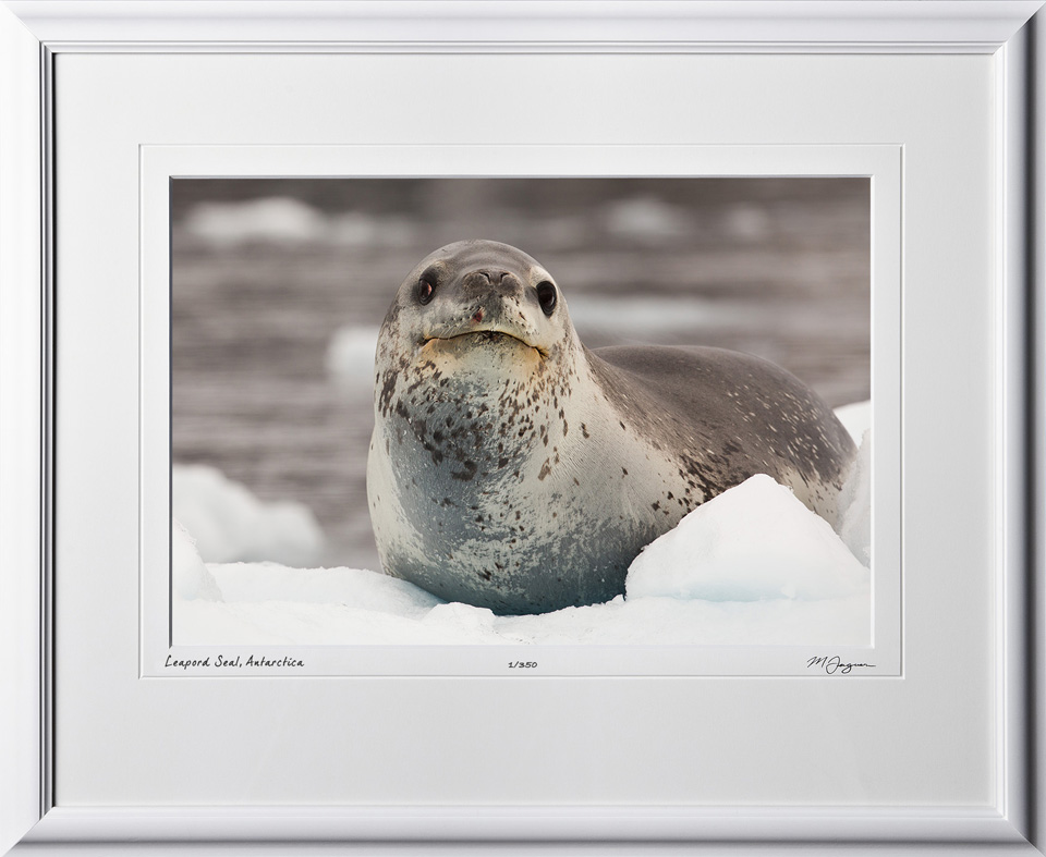 S130115A Leopard Seal - Antarctica - shown as 12x18