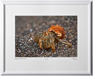W110510 029 Hermit Crab Galapagos - shown as 12x18
