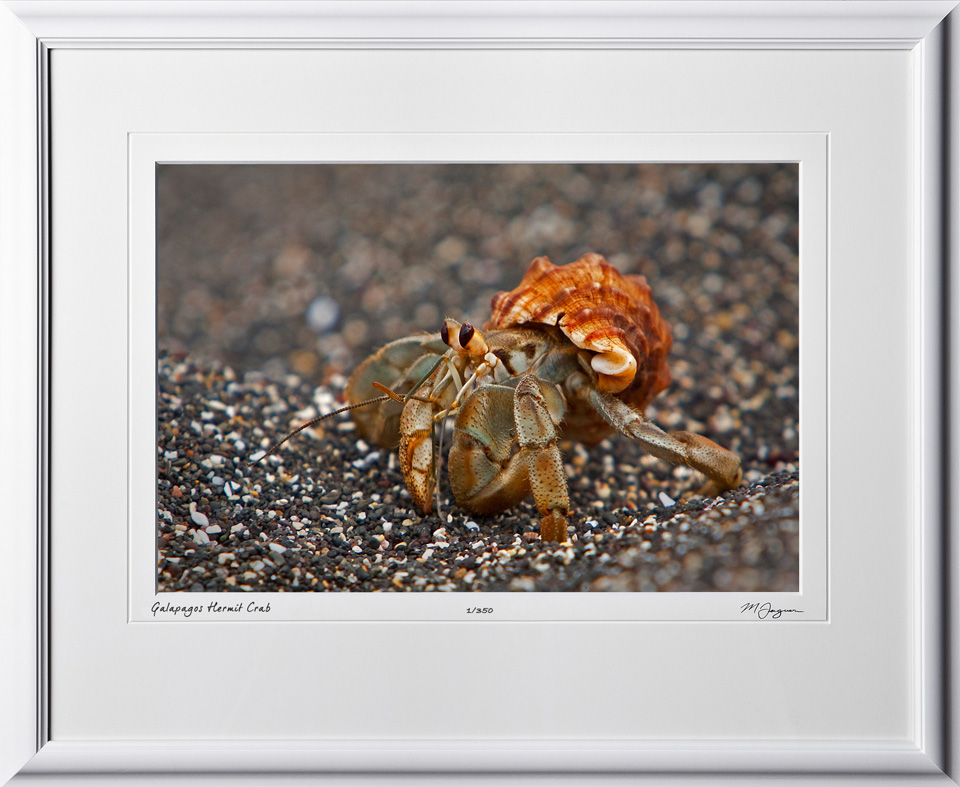W110510 029 Hermit Crab Galapagos - shown as 12x18