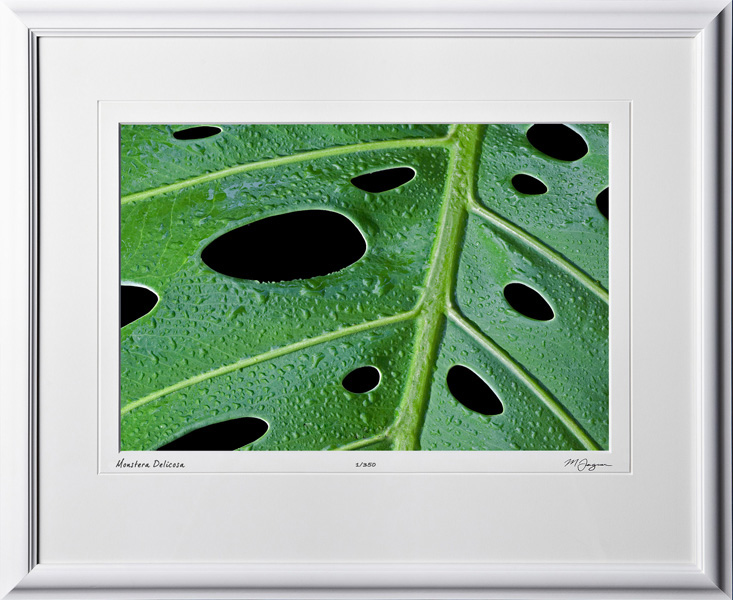 F081113E Monstera Delicosa - shown as 12x18