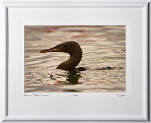 W110510 049 Flightless Cormorant Galapagos - shown as 12x18