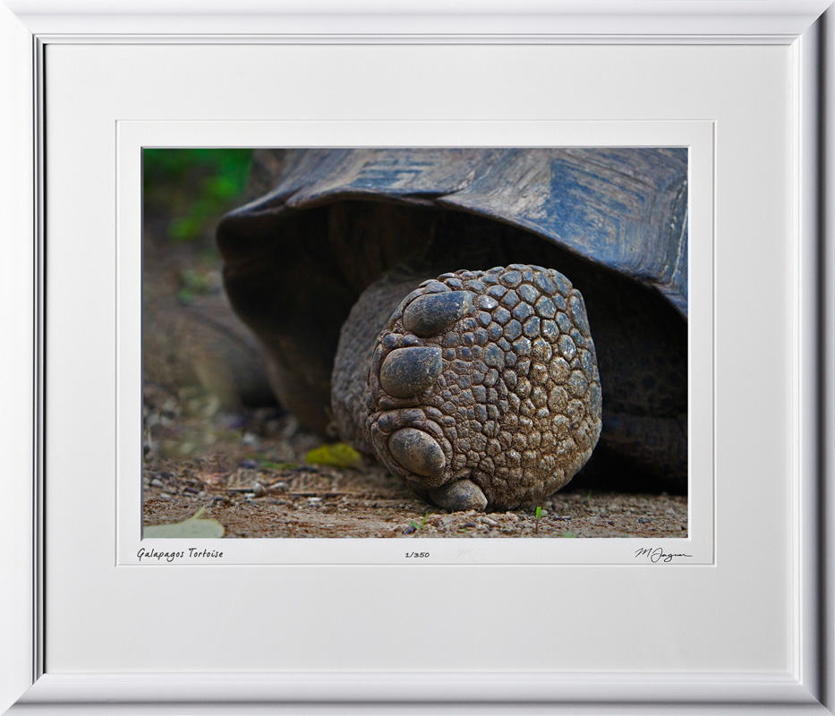 W110510 014 Tortoise Galapagos - shown as 10x14