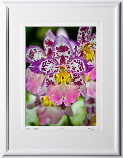 F080404E Oncidium Orchid - shown as 10x14