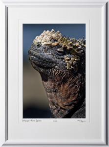 W110511 020 Marine Iguana Galapagos - shown as 12x18