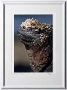 W110511 020 Marine Iguana Galapagos - shown as 12x18