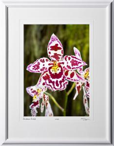 F080404F Oncidium Orchid - shown as 10x14
