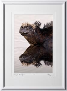W110511 030 Marine Iguana reflection Galapagos - shown as 12x18