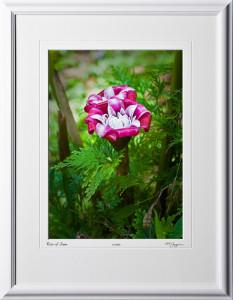 F080404B Rose of Siam - Big Island Hawaii - shown as 10x14
