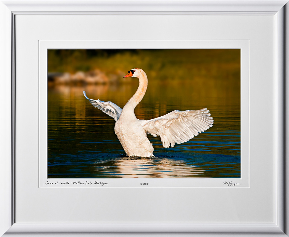 S090627A Swan at sunrise - Walloon Lake Michigan - shown as 12x18