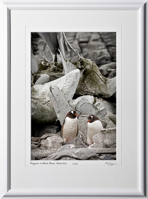 S130111A Gentoo Penguins in Whale Bones - Antarctica - shown as 12x18