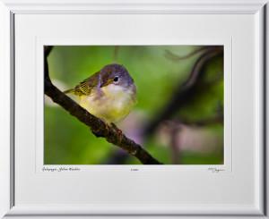 W110512 032 Yellow Warbler Galapagos - shown as 12x18