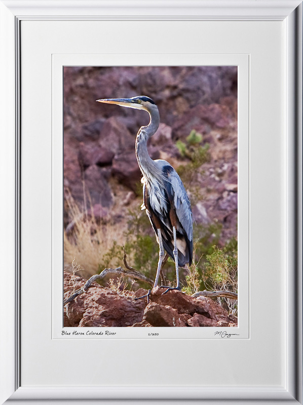 S081003F Blue Heron - Lake Mead National Recreation Area - shown as 12x18