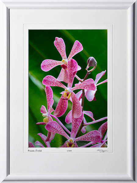 F081113A Aranda Orchid - shown as 12x18