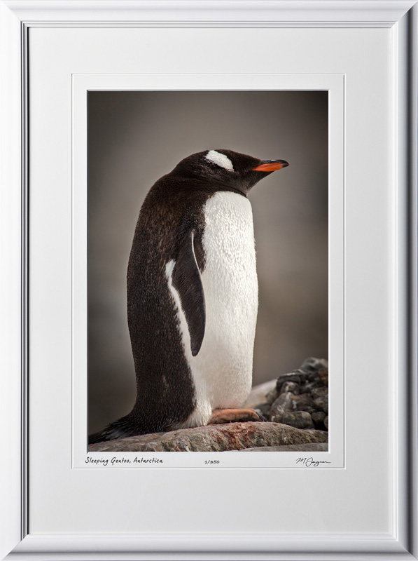 S130111B Sleeping Gentoo Penguin- Antarctica - shown as 12x18