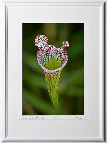 F081113C Carnivorous Cobra Lily - shown as 12x18