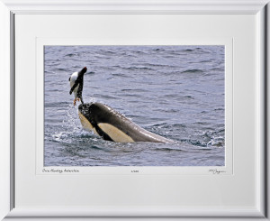 41 S130114A Orca Hunting Penguin - Antarctica - shown as 12x18 in 19x24 frame