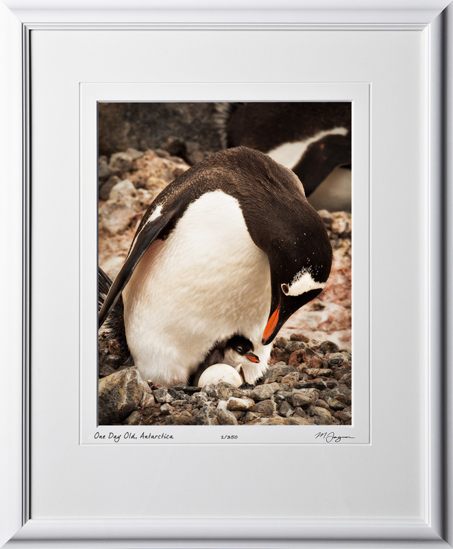 49 S130111D One Day Old - Gentoo Penguin - Antarctica - shown as 11x14 in 17x21 frame