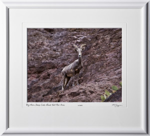 S081003E Big Horn Sheep - Lake Mead National Recreation Area - shown as 12x18