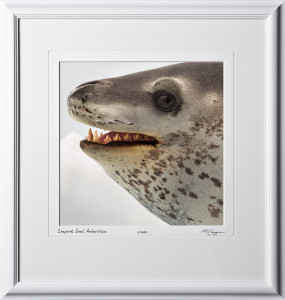 51 S130115D Leapord Seal - Antarctica - shown as 12x12 in 18x19 frame