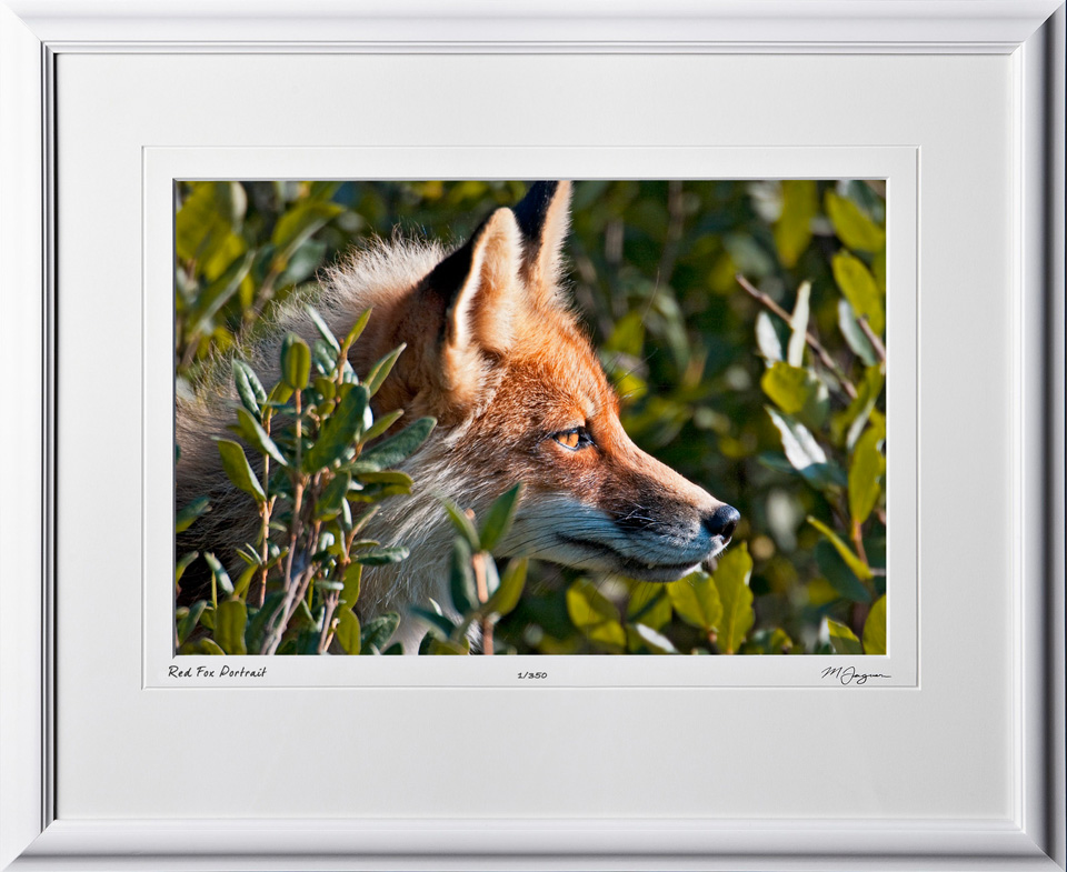 W090717A Red Fox Portrait - Denali Alaska - shown as 12x18