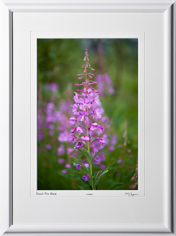 F090715A Denali Fire Weed - Alaska - shown as 12x18